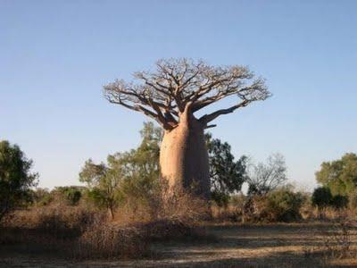 Baobá, árvore sagrada para muitos africanos.